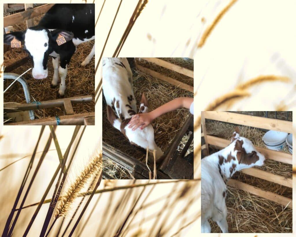 veaux de la ferme de la Gautraie